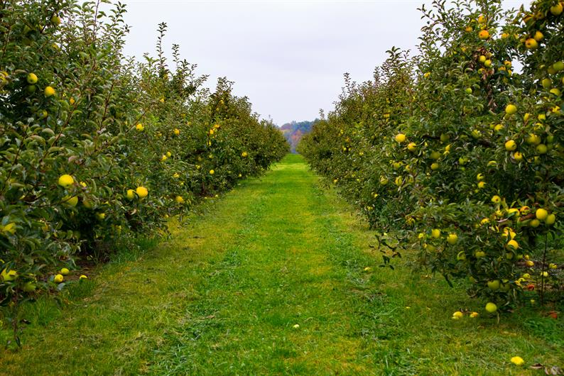 Apple Oasis